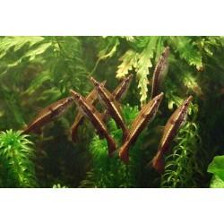 Nannobrycon eques, pez lápiz de tubo 2.5-3.0 cm