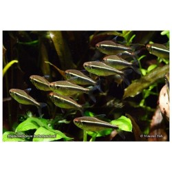 Hyphessobrycon herbertaxelrodi , Neon Negro 1,5-2,0 cm
