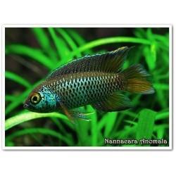 Nannacara anomala 3,5-4,5 cm