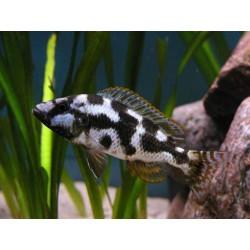 Haplochromis livingstoni, Dormilón del Lago Malawi 4.0-5,0 cm