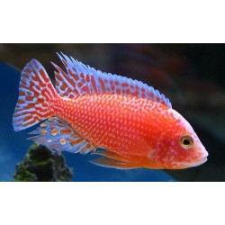 Aulonocara fire fish red