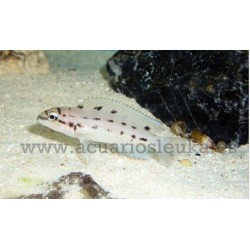 Chalinochromis ndobhoi