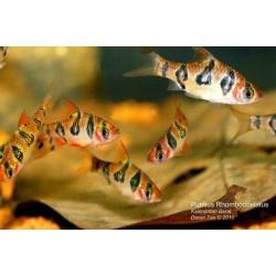 Barbodes rhombocellatus