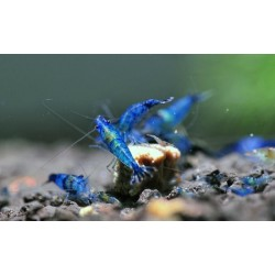Neocaridina electric blue