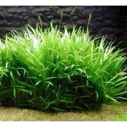 Echinodorua latifolius/xingu