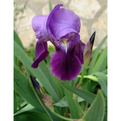 Iris germanica var. violeta