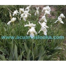 iris germanica var. blanco