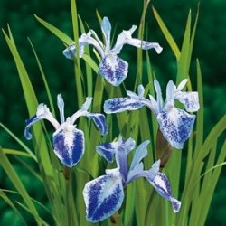 "Iris laevigata ""Mottled beauty"""