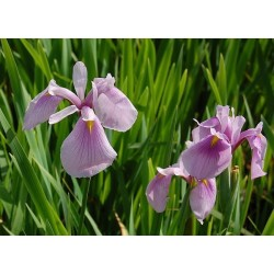 "Iris laevigata "" Rose Queen"""