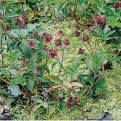 Potentilla palustris