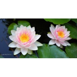 "Nymphaea ""Hollandia"""