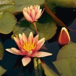 "Nymphaea ""Sioux"""