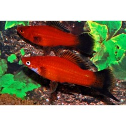 "Xiphophorus helleri, xipho ""rojo wagtail"" 3-4 cm"