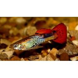 Poecilia reticulata snakeskin red , guppy macho 3.0-3.5 cm