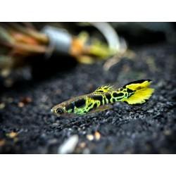 Guppy endler yellow tiger, Poecilia wingei