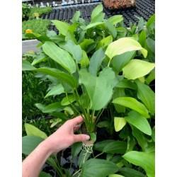 Echinodorus ozelot verde
