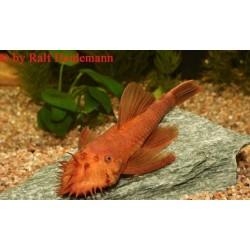 """Ancistrus dolichopterus """"variante roja"""""""