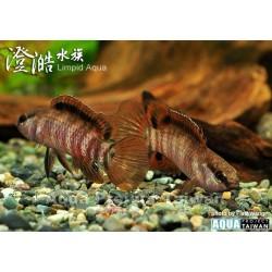Badis sp. Buxar , Pez camaleón 2,0- 2,5cm
