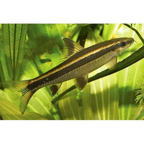 Epalzeorhynchus kallopterus, Zorro volador 3,0-4,0 cm