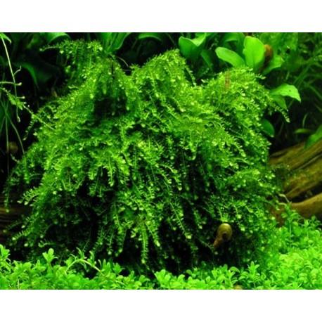 "Vesicularia ferriei "" Weeping moss"""