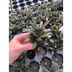 Bucephalandra Lamandau