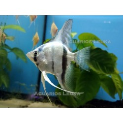 Pterophyllum scalare: Escalar Blue Diamond 3,5-4,0 cm
