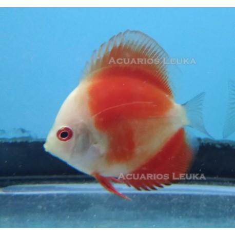 Symphysodon aequifasciatus, disco Pigeon Red 6,0 cm