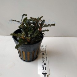 Bucephalandra sp Catherine
