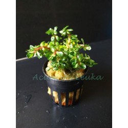 Ammania bonsai