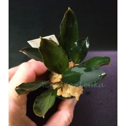 Bucephalandra Serimbu brown