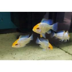 Mikrogeophagus ramirezi solid blue gold head 3,0-3,5cm
